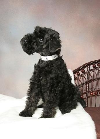 Kerry Blue Terrier New Jersey Adding a new puppy to your